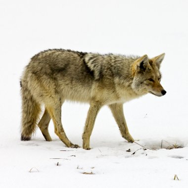 Lone Coyote Scavenges for Food In Yellowstone National Park