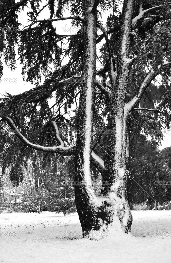 Cedar of lebanon under the snow