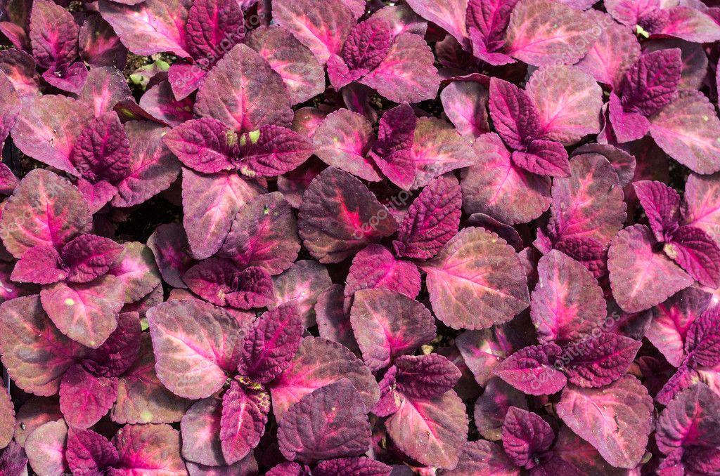 Folhas vermelhas da planta coleus fotografias de stock for Plantas de interior hojas rojas