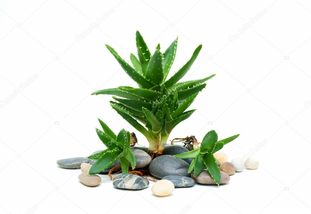 Aloe vera and stones isolated on white background