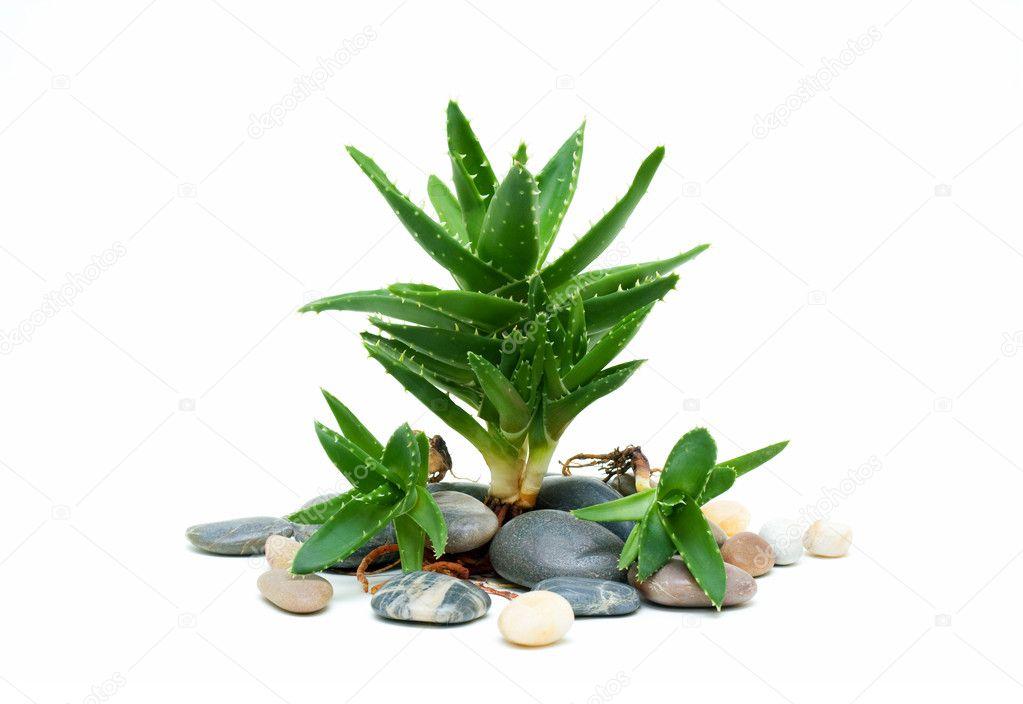 Aloe vera and stones isolated on white background