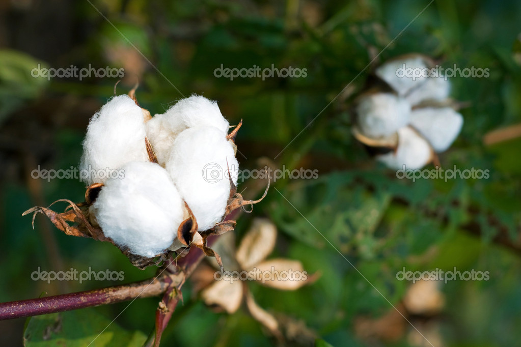 Mature cotton bolls in the fields