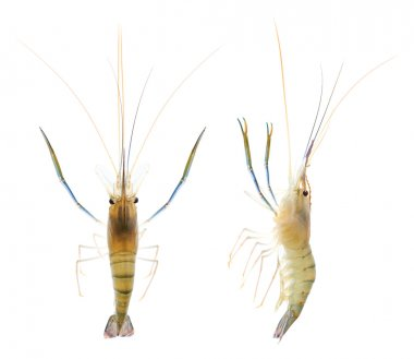 Shrimp (clipping path)