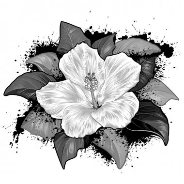 Hibiscus Flower Drawing On White Background