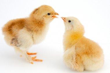 Love between chickens