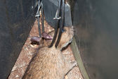 Fotografie Trapped Rat