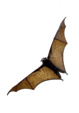 Flying fox - huge bat stock vector