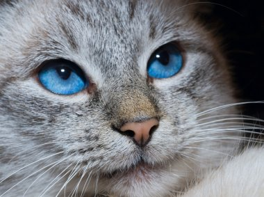 Cat with deep blue eyes