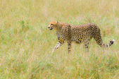 Fotografia ghepardo nel campo