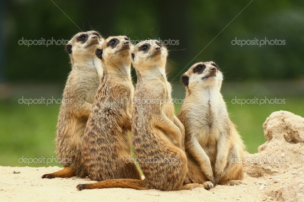 Lovely group of Meerkats sits and look at the sky