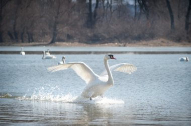 Swans fly
