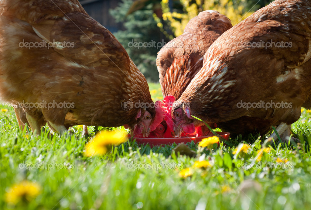 Chickens on green grass