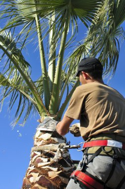 An Arborist Prunes the Top of a Palm Tree Trunk