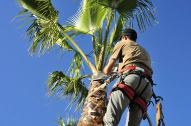 An arborist wearing a safety harness trims a palm tree. stock vector