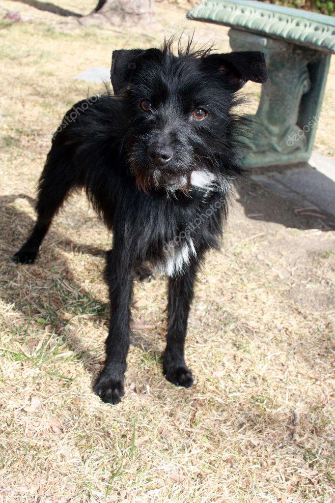 черная маленькая собака порода фото