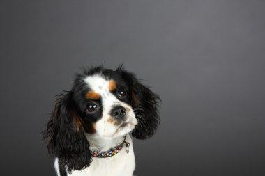 Cavalier King Charles Spaniel Puppy Head shot