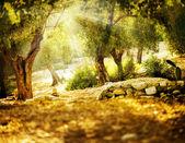 Fotografie olivovníky