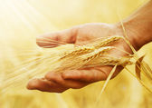 Photo Wheat Ears In The Hand. Harvest Concept