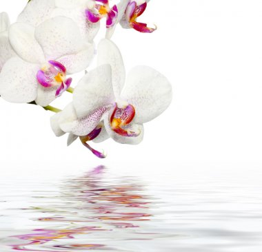 Beautiful Orchids WIth Reflection