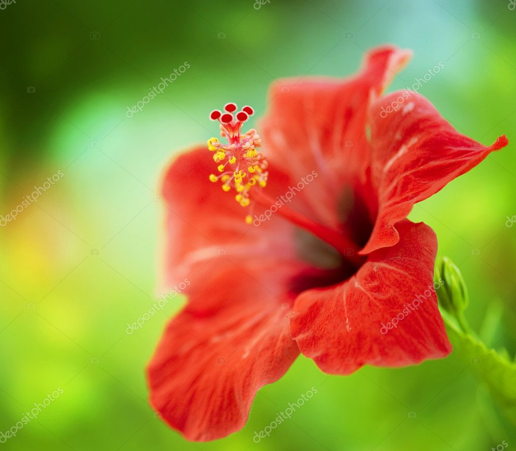 ᐈ Hibiscus Flowers Stock Images Royalty Free Hibiscus Flower Pictures Download On Depositphotos