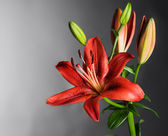 Beautiful Red Lily Flower Over Black