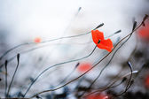 Fotografie Abstract Poppies. Shallow DOF