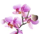 krásná orchidej nad bílá