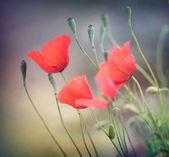 Fotografie Poppies. Shallow DOF