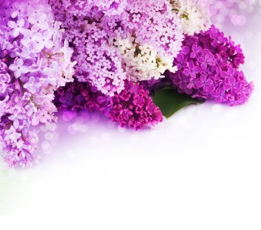 Spring Lilac Border. Isolated On White