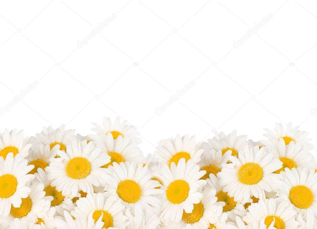 Daisy Border — Stock Photo © Subbotina #10687043
