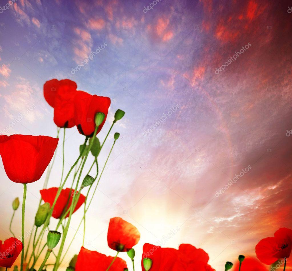 Poppy Over Sunset Sky