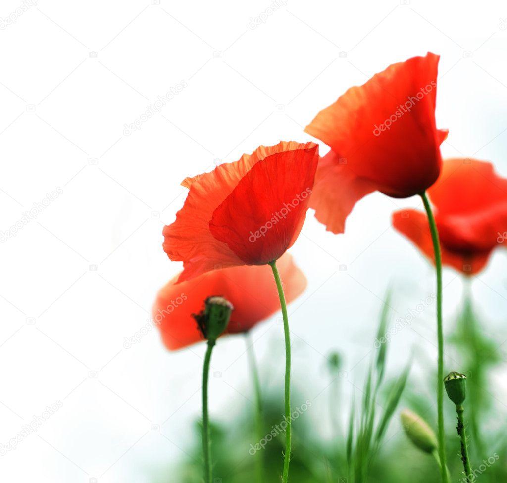 beautiful poppies border u2014 stock photo subbotina 10688170