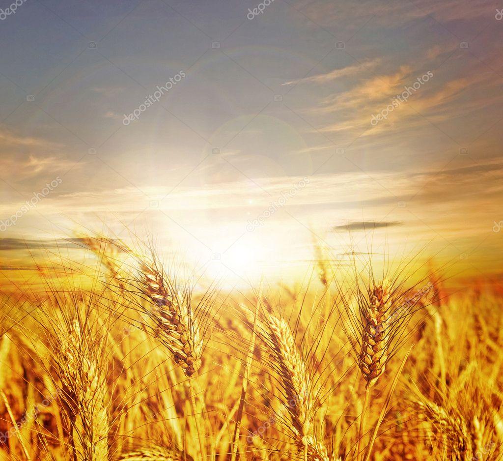 Champ de blé — photo de stock
