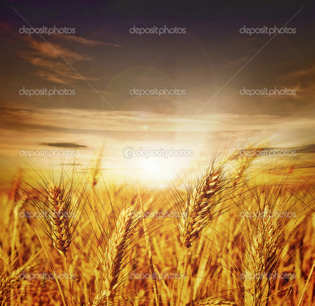 Beautiful Wheat. Sunset