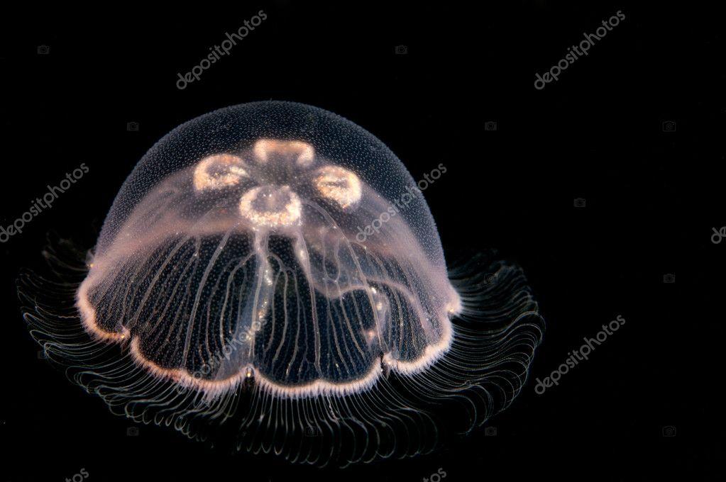 Juvenile jellyfish