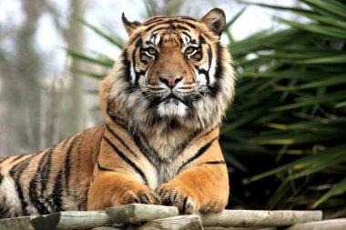 Tiger, zoo lisbon