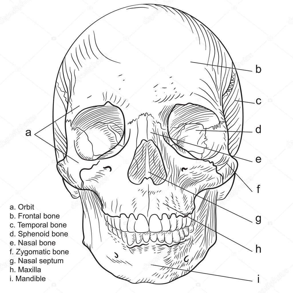 cráneo humano frontal — Vector de stock © nogandosan #10459983