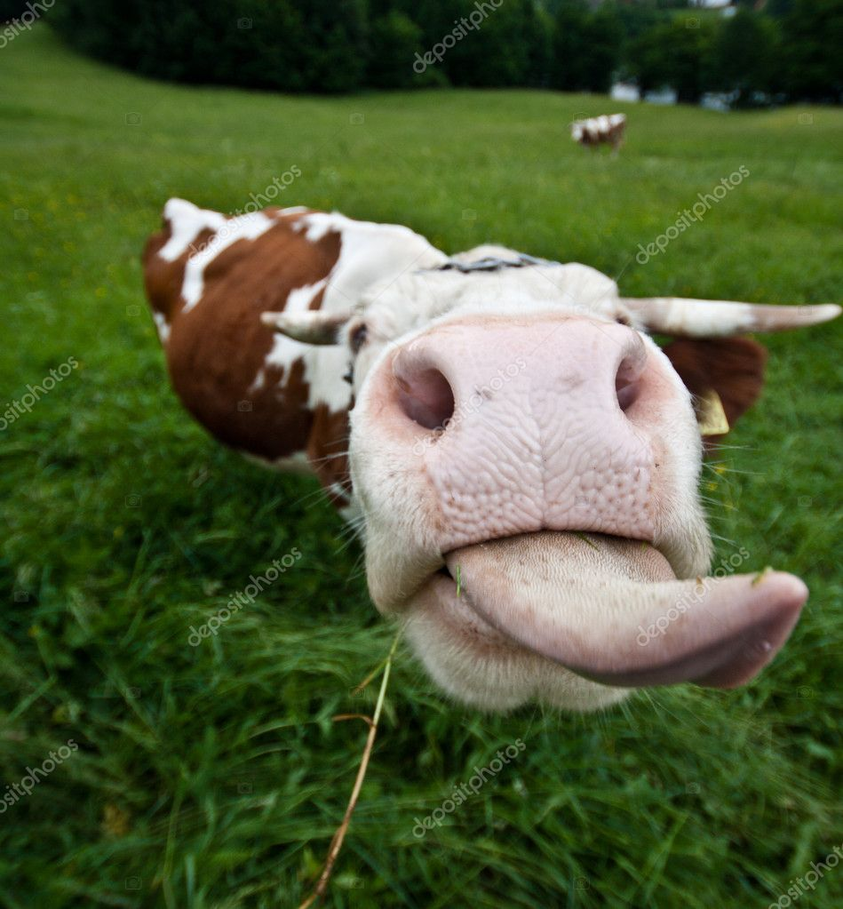 Cow with long tongue