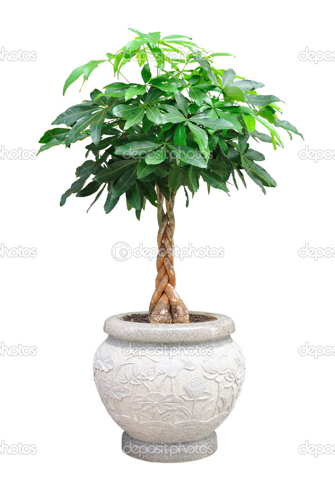 Asian small decorative tree isolated