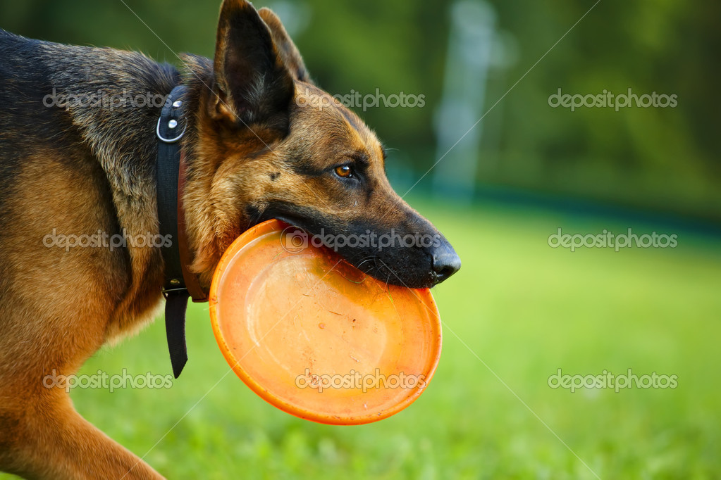 Dog with flying disc