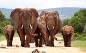 Fotografia mandria di elefanti