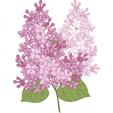 Vector flowers of lilac. Illustration for your design.
