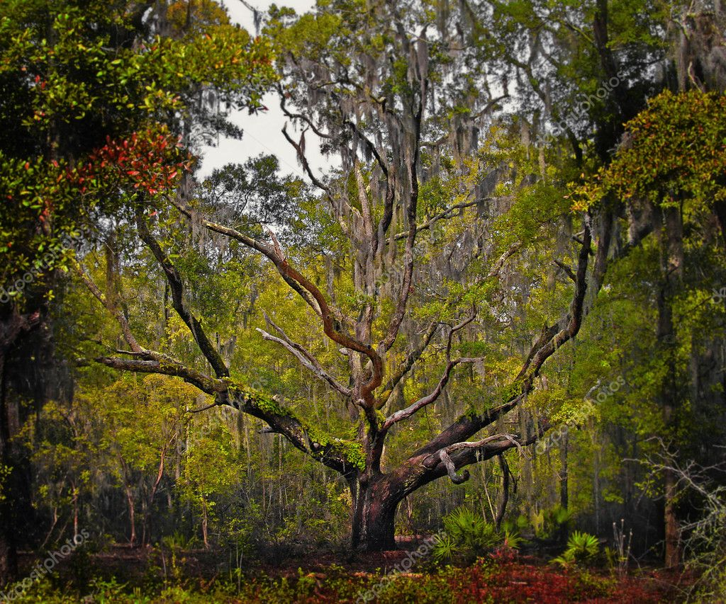 Florida Live Oak Tree
