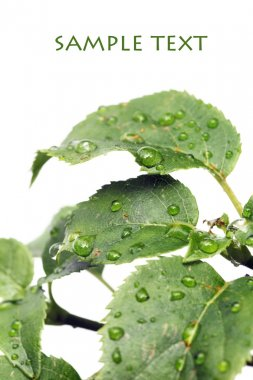 Young green leaves with water drops against white background