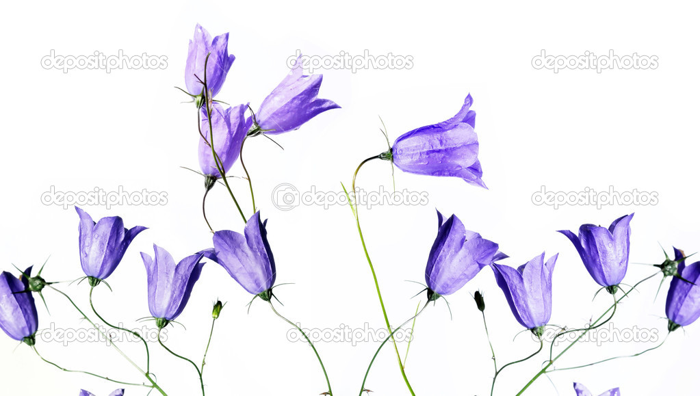 Lovely purple flowers against white background useful design lovely purple flowers against white background useful design element stock photo mightylinksfo Choice Image
