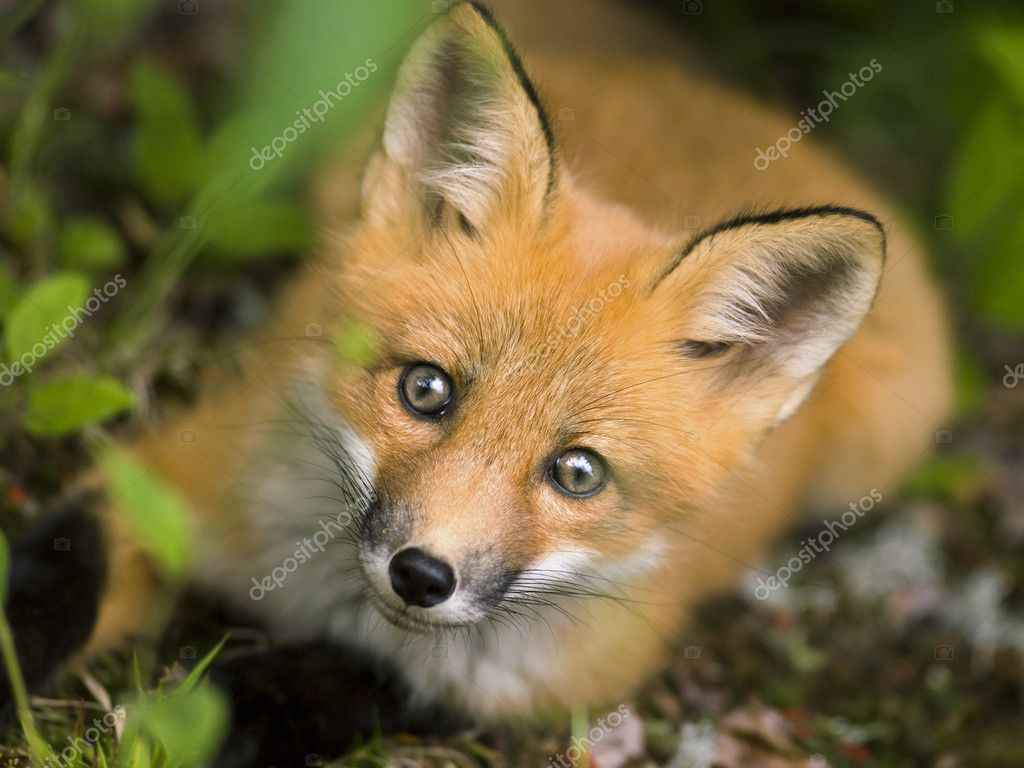 Mammal red fox C