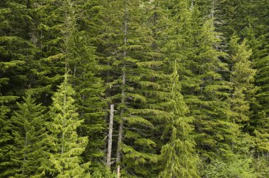 Douglas fir forest green conifers trees