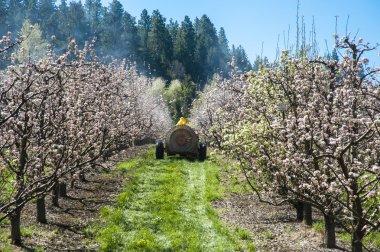 Farmer spraying pesticide on apple trees