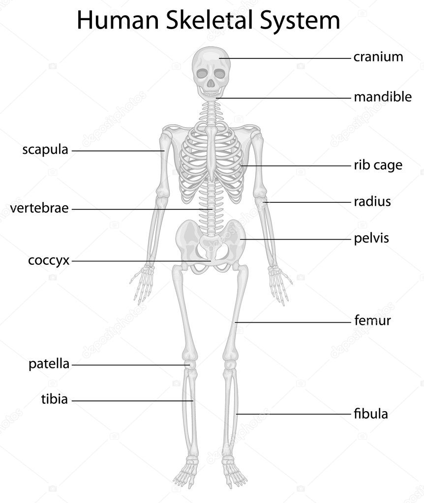 Skeletal System Stock Vector Interactimages 10457046