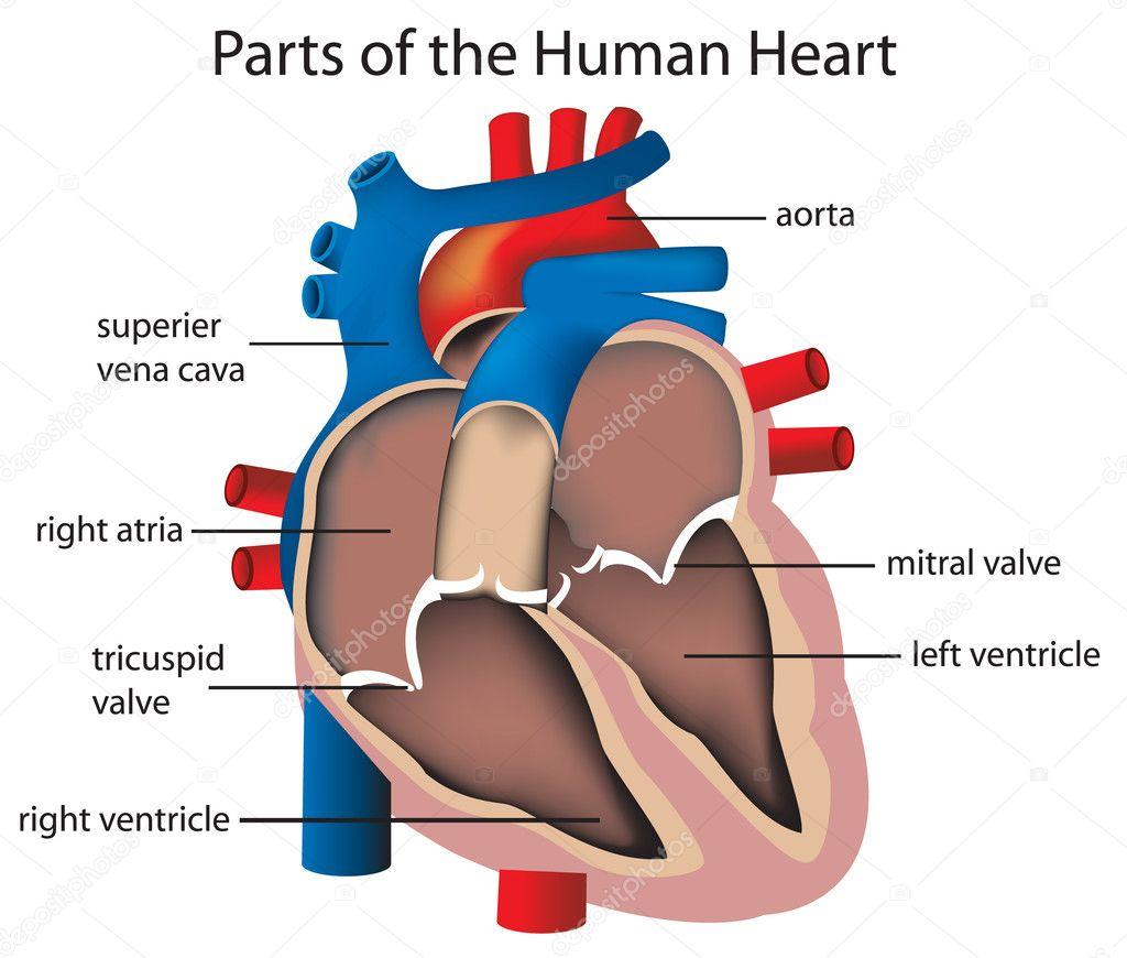 Encantador Partes Del Corazón Humano Motivo - Imágenes de Anatomía ...